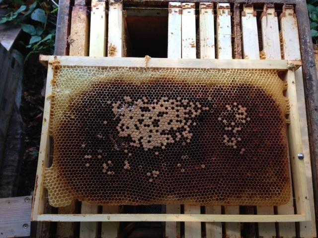 Bienen, Varroaschaden